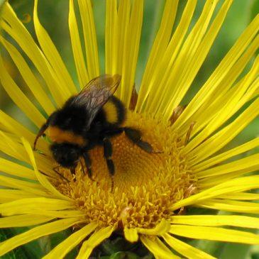 elecampane-and-bee