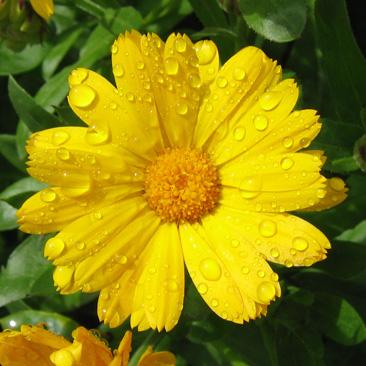 pot-marigold