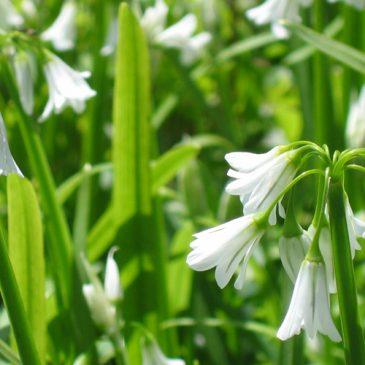triangular stalked garlic
