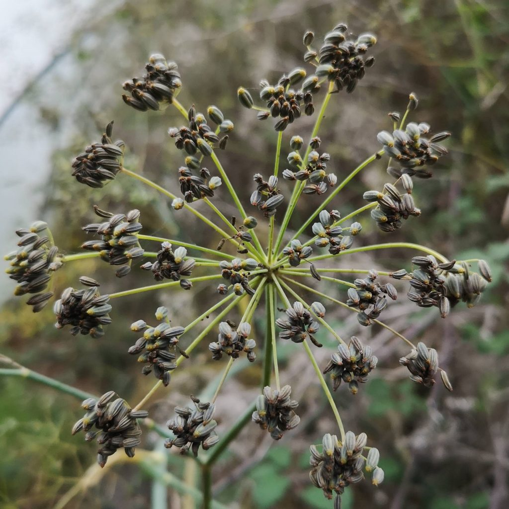 The Herb Garden Fennel Seed