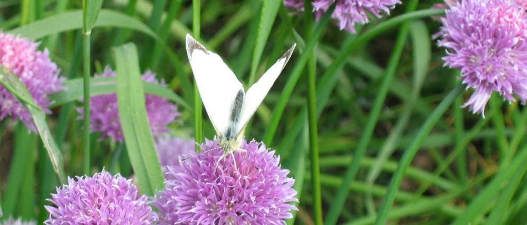 chives-and-butterfly