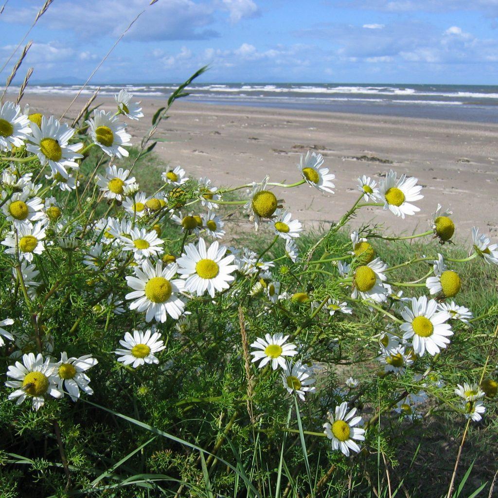 seashore wildflowers