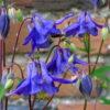 Columbine Blue (Aquilegia vulgaris)