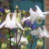 Columbine White (Aquilegia vulgaris)
