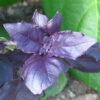 Purple Basil (Ocimum basilicum 'Dark Opal')