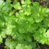 Coriander (Coriandrum sativum)