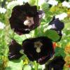 Hollyhock Black (Alcea rosea 'Nigra')
