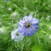 Love-in-a-Mist (Nigella damascena)