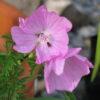 Musk Mallow Pink (Malva moschata)