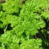 Parsley Curled (Petroselinum crispum)